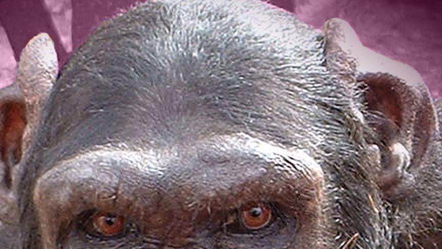Jacky, chimpancé rescatado tras años de sufrimiento en un circo. Foto: Proyecto Gran Simio