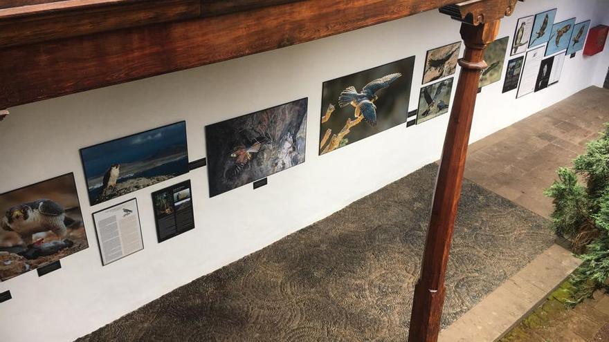 Exposición sobre aves rapaces de Canarias en el Museo Insular de La Palma.