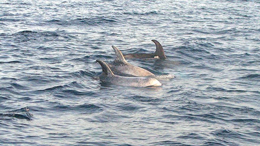 Delfines en una Zona de Especial Conservación (ZEC) de Canarias.