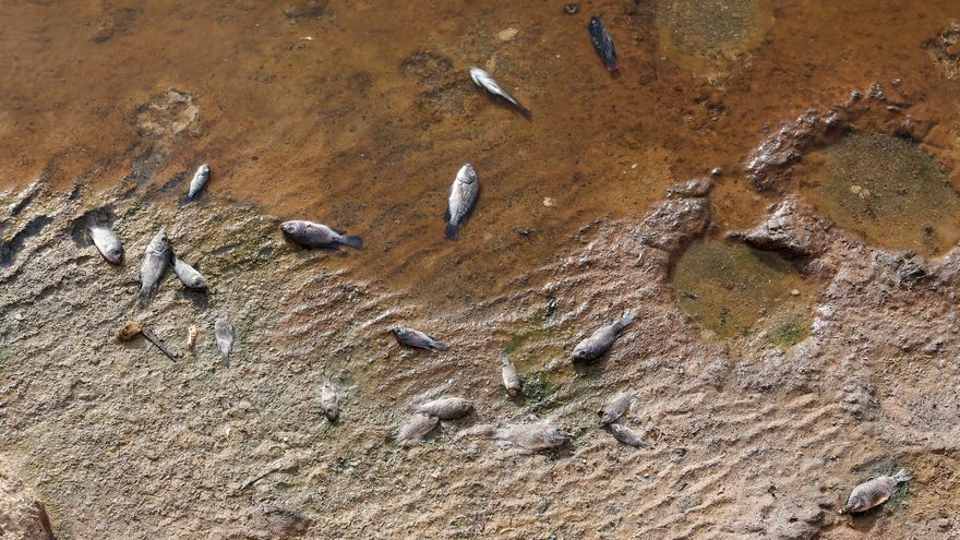 Peces muertos a las orillas de la Charca de Maspalomas.