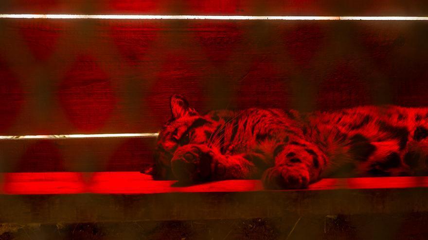 Un serval dormido bajo el calefactor de una de las jaulas. Foto: colectivobritches.com