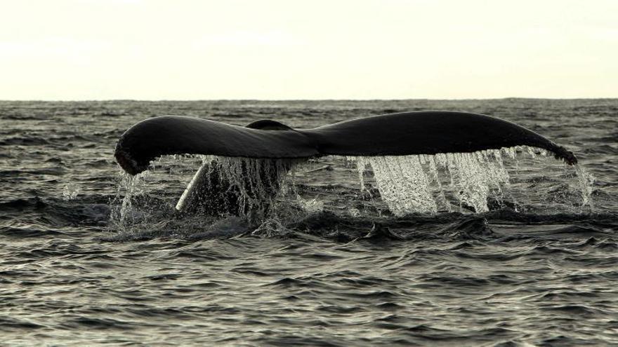 Las ballenas jorobadas, fieles al Caribe