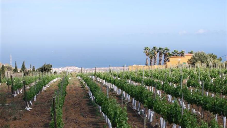 Viñedos de La Higuera Mayor, ubicado en Telde, Gran Canaria.