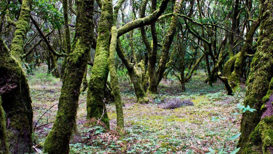 Troncos retorcidos y cubiertos de musgo en Laguna Grande, en el Parque Nacional de Garajonay. VIAJAR AHORA