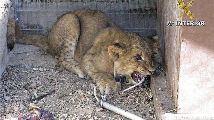 Localizan a una leona africana procedente de un circo ambulante