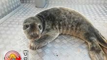 """Rescatada una foca """"bebé"""" de cuatro meses en un pueblo costero de Portugal"""