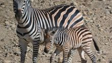 Una de las cebras nacidas en Sendaviva.