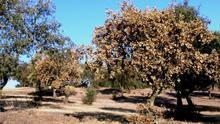 La salud de los bosques españoles empeora, y ya tienen más de un 25% de sus árboles dañados