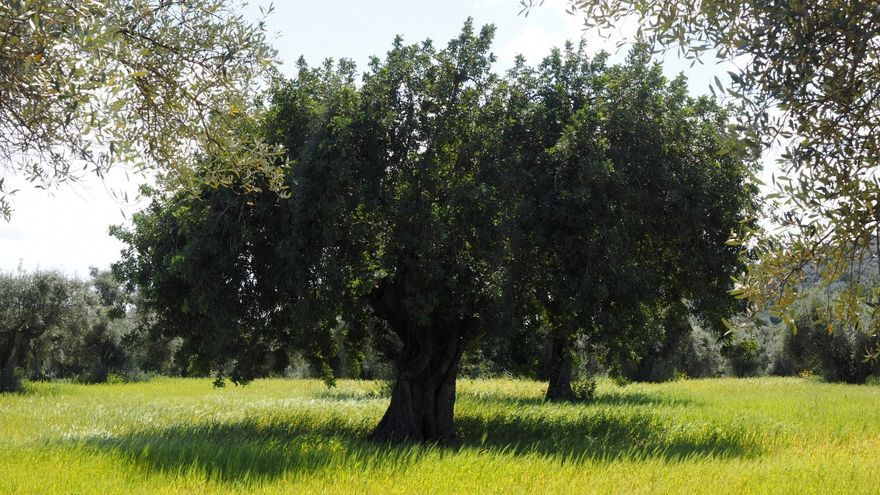 Uaga estima que los 700.000 olivos que crecen en el campo aragonés capturan 80.000 toneladas de CO2 al cabo del año.