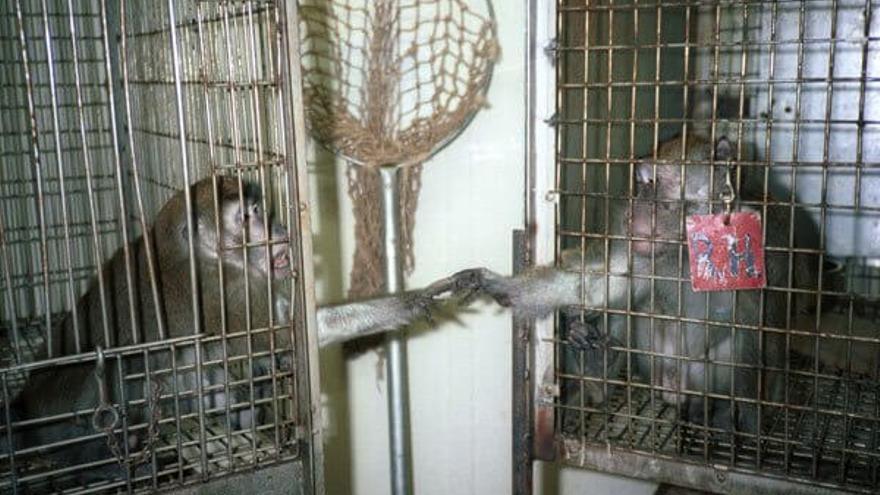 Alex Pacheco, cofundador de PETA, se infiltró como trabajador en 1981 en un laboratorio donde experimentaban con 17 macacos. Las imágenes que obtuvo causaron un enorme impacto mediático y social.
