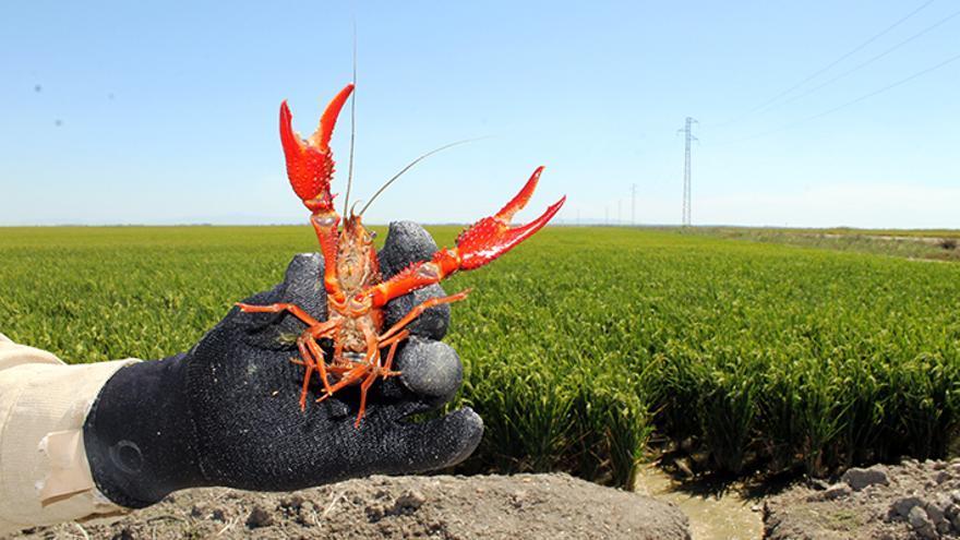 Ejemplar de cangrejo rojo americano en las marismas del Guadalquivir. / JUAN MIGUEL BAQUERO