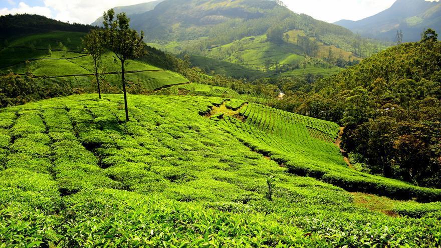 Los campos de té dominan todo el paisaje de los alrededores de Munnar. Yogendra Joshi (CC)
