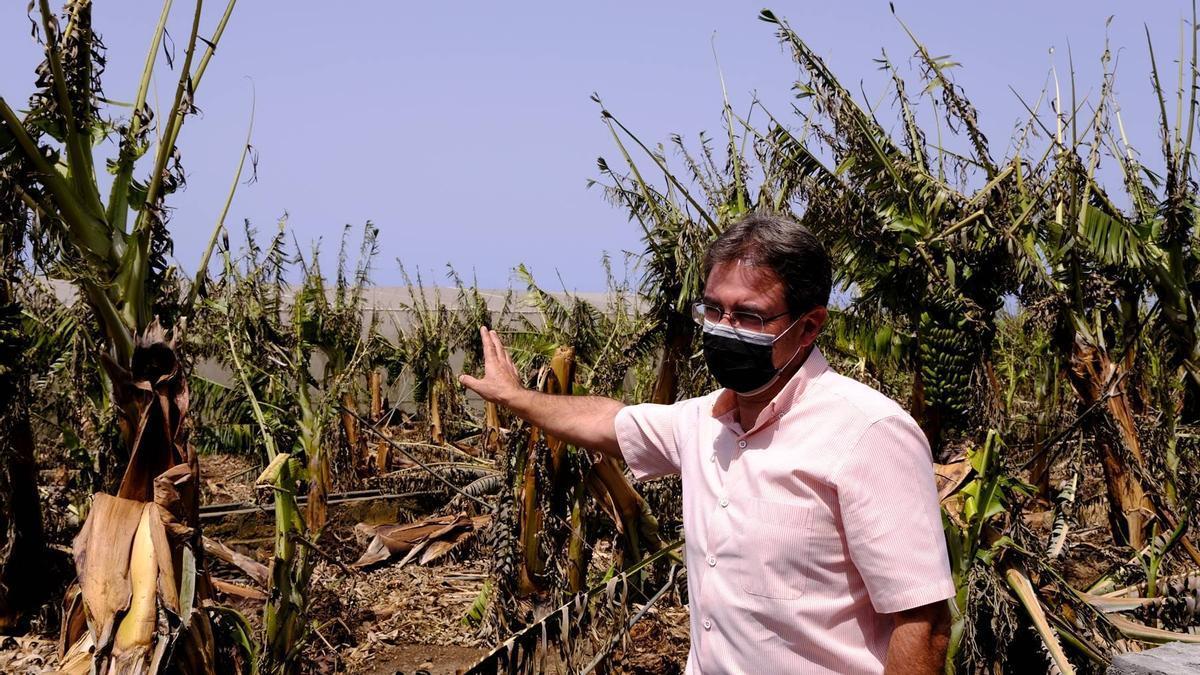 José Adrián Hernández, vicepresidente del Cabildo de La Palma y consejero de Agricultura, Ganadería y Pesca, en una finca de plátanos afectada por el incendio  y por la ola de calor.