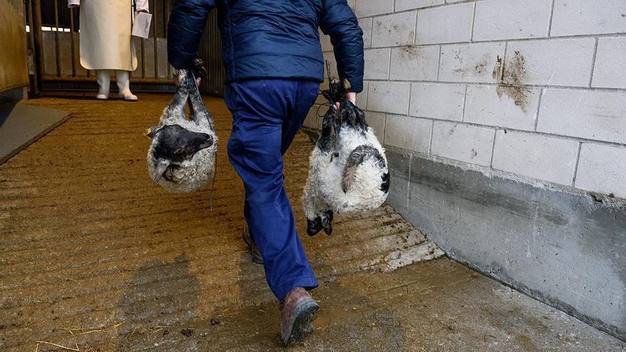Un granjero traslada dos corderos a los corrales mediante una soga atada a sus cuatro patas. Esta práctica está prohibida por el Reglamento (CE) Nº 1/2005 del Consejo de 22 de diciembre de 2004 relativo a la protección de los animales durante el transporte y las operaciones conexas.