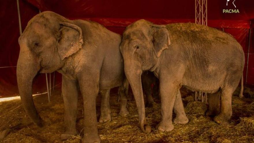 Las elefantas accidentadas se marchan de Pozo Cañada para volver al Circo Gottani