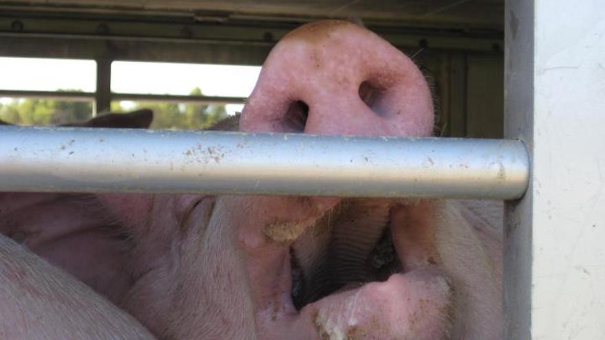 Un cerdo sufriendo las terribles condiciones de su transporte al matadero. Foto: Animals' Angels / ANDA