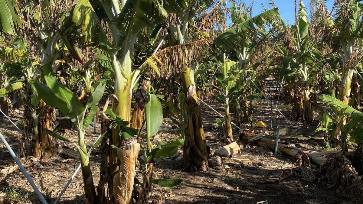 Plantación de plátanos de la comarca oeste de La Palma afectada por el viento y las altas temperaturas del pasado mes de agosto.