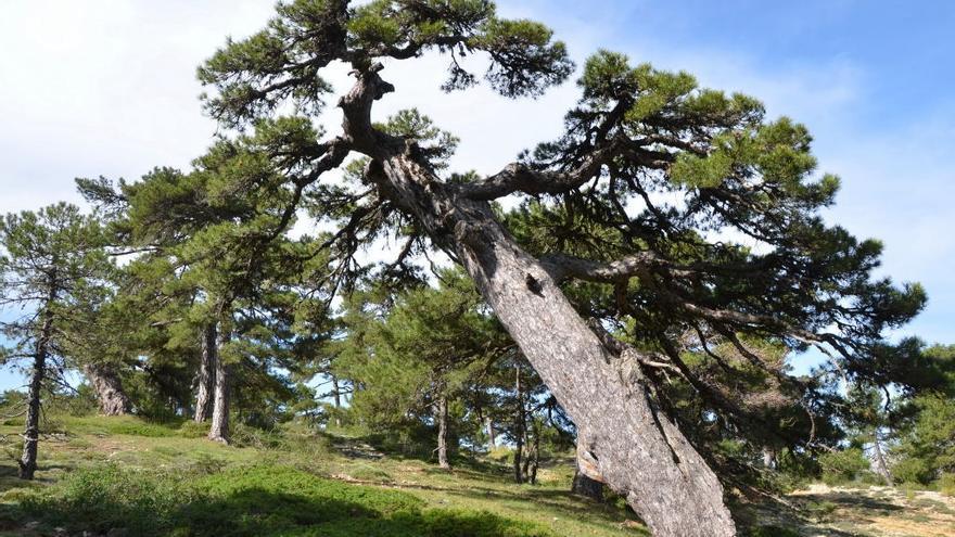 Uno de los pinos milenarios de Puertollano, con una edad estimada de 1.041 años.