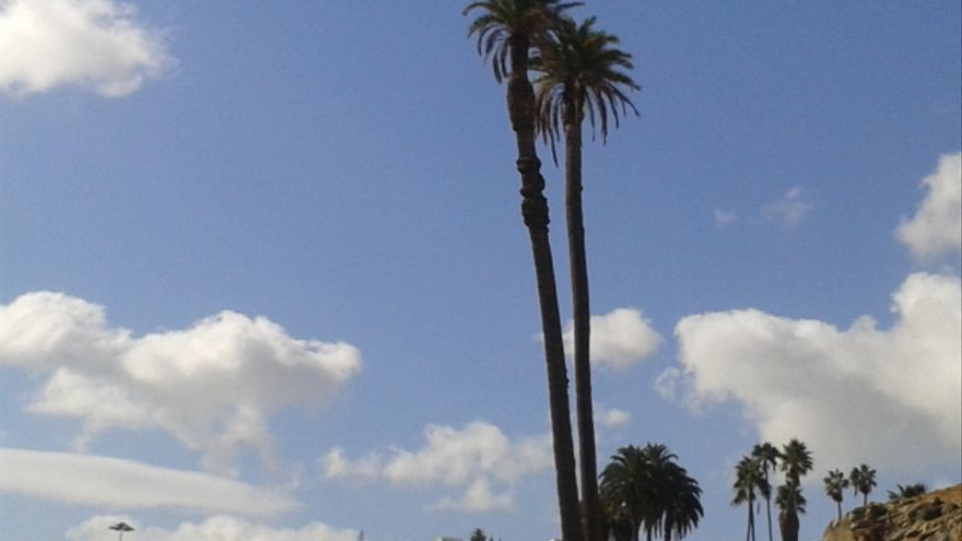 Emblemáticas palmeras de la capital grancanaria (Carlos Suárez)