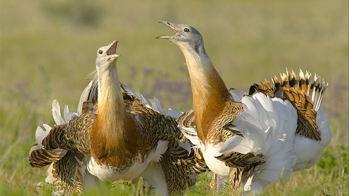 Aves esteparias