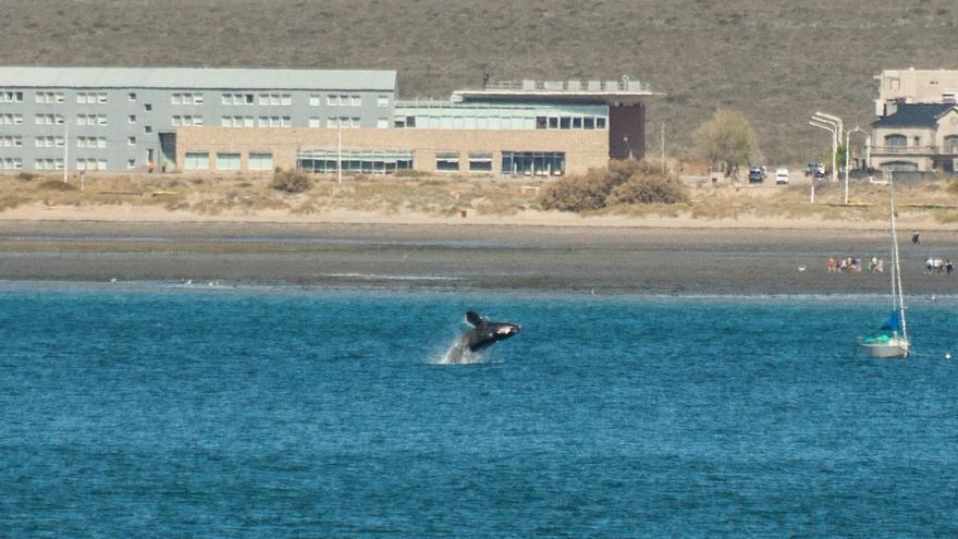 Ballena franca saltando frente a Puerto Madryn. Francisco Ezequiel Paez