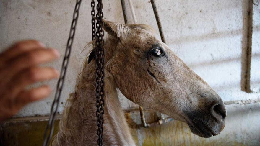 Los caballos que llegan lisiados y no pueden acceder por sí mismos al cajón de aturdimiento, son arrastrados por una cadena sujeta a su cuello. Arriaga (Chiapas), 2017