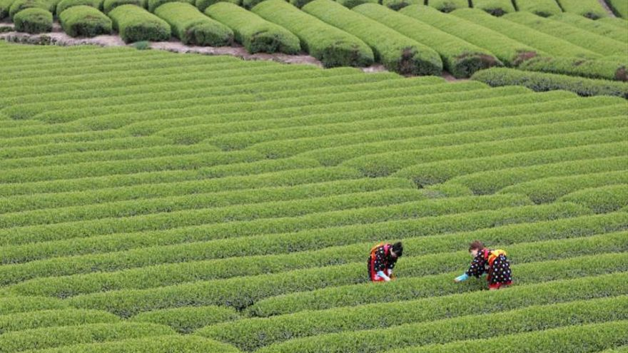 Ensayarán si hábitos saludables y una sustancia del té verde frena la demencia