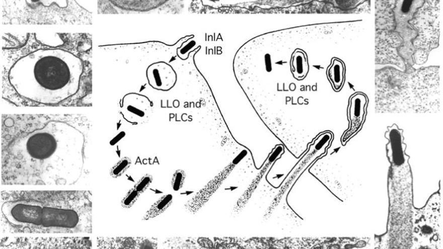 Etapas de la vida intracelular de Listeria monocytogenes. La figura del centro se basa en las micrografías electrónicas de alrededor.