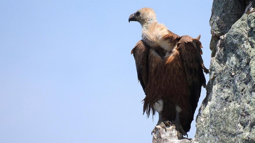 Buitre Leonado en el Parque Nacional de Monfragüe. Porphyrio