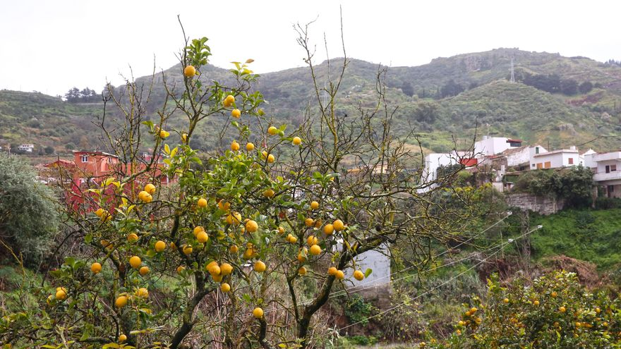 Árbol frutal en San Mateo. (Alejandro Ramos)