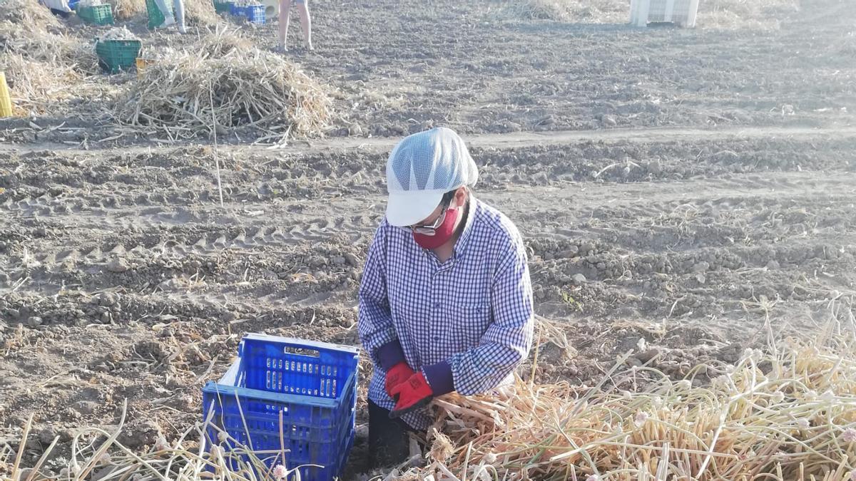 Recolección del ajo morado