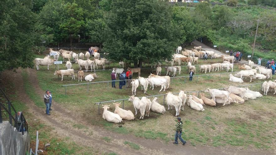 En esta edición participan unas 170 cabezas de ganado vacuno.