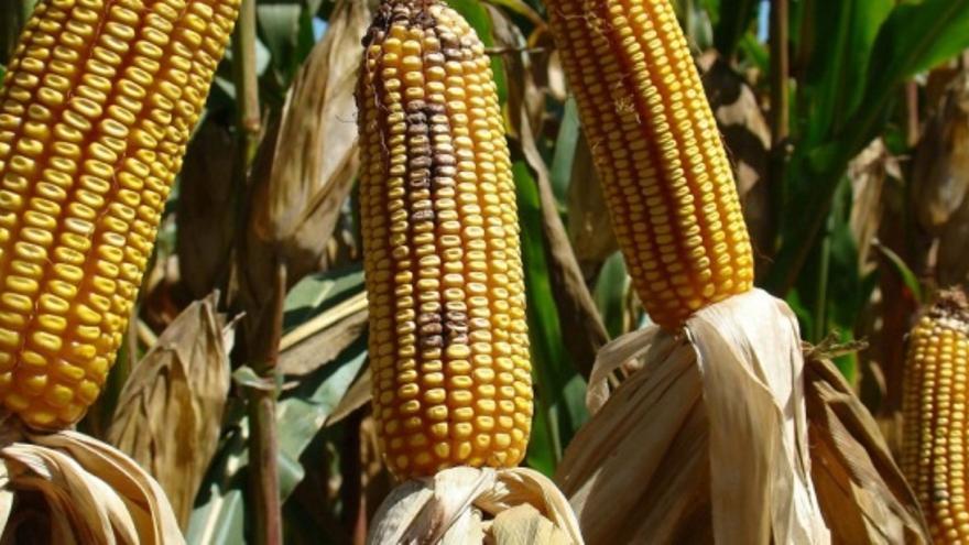 Dos variedades de maíz transgénico podrían comenzar a cultivarse en Europa
