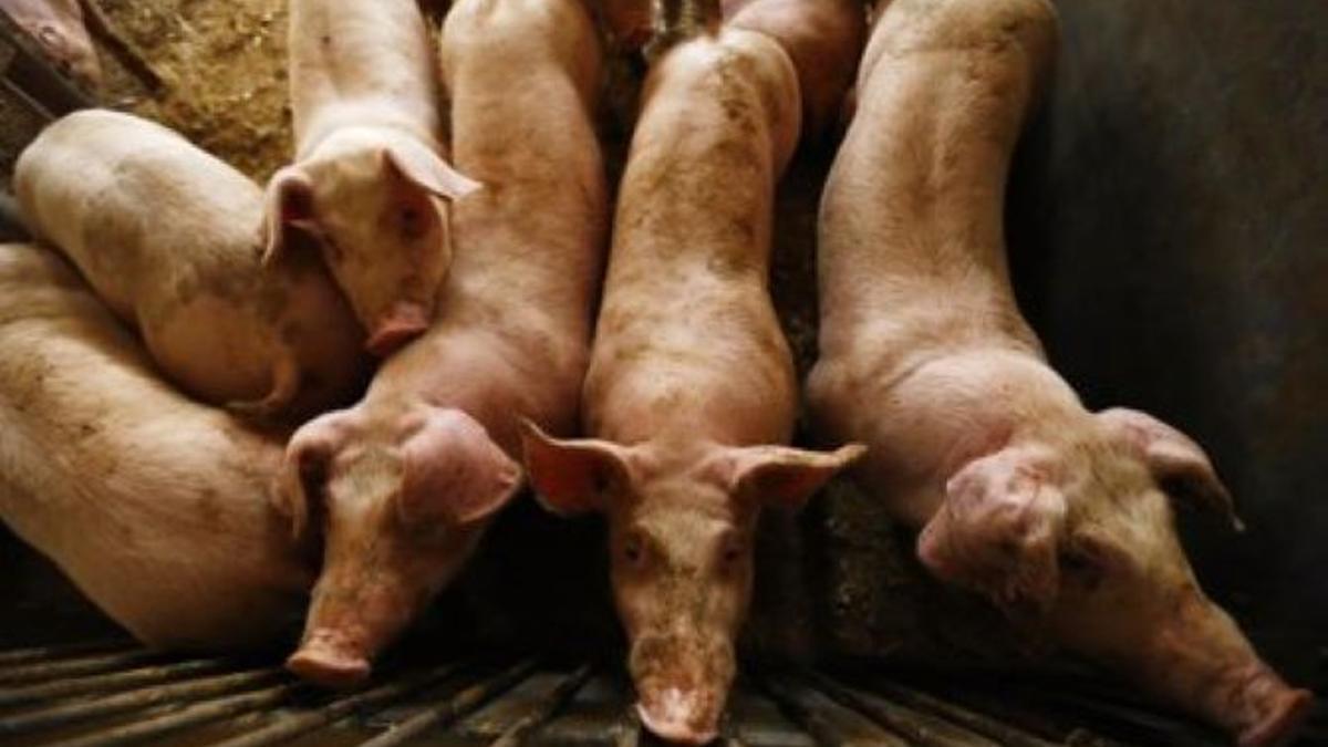 Cerdos en una explotación ganadera