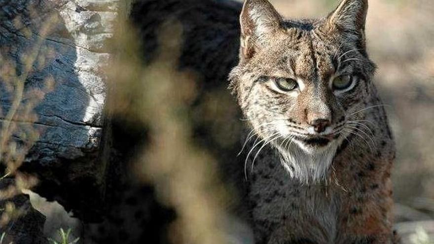 """El lince ibérico está en """"peligro crítico"""" de extinción."""