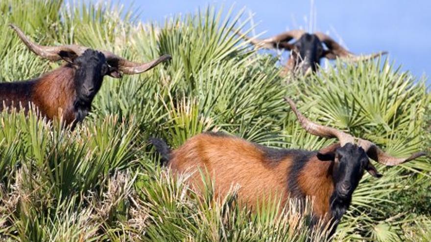 Cabras salvajes mallorquinas