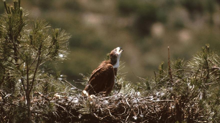 Los censos de Medio Ambiente registran 107 parejas nidificantes de águila imperial ibérica en Andalucía