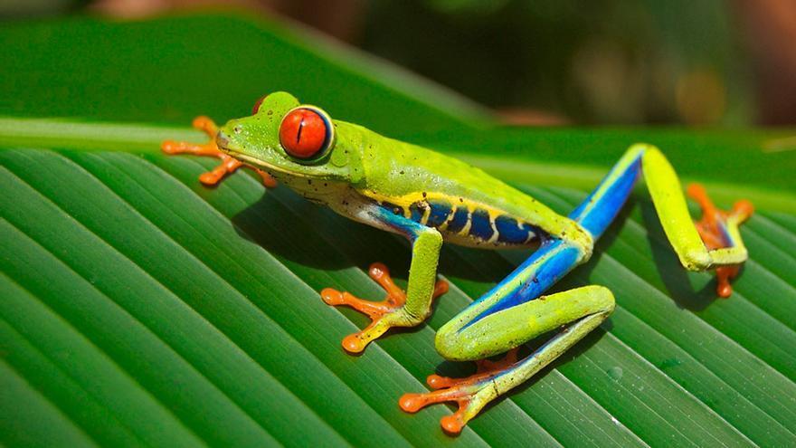 Rana de ojos rojos, Costa Rica