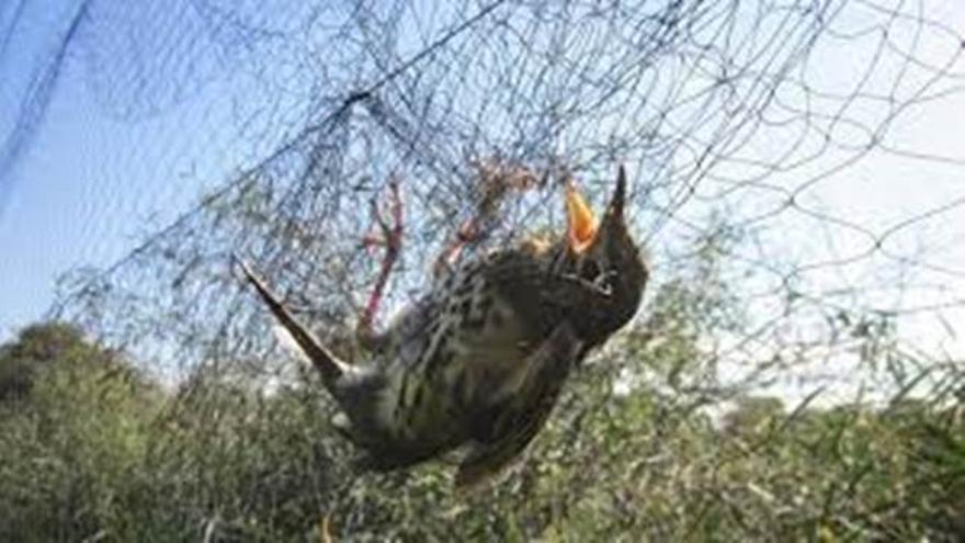 Un pájaro víctima de la caza con redes