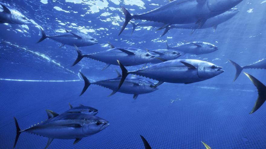 La sobrepesca esquilma los bancos de rabil del índico / WWF.