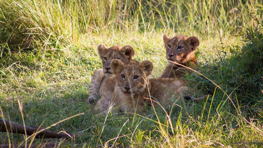 Cachorros de león a la sombra en el Serengueti. Weldon Kennedy