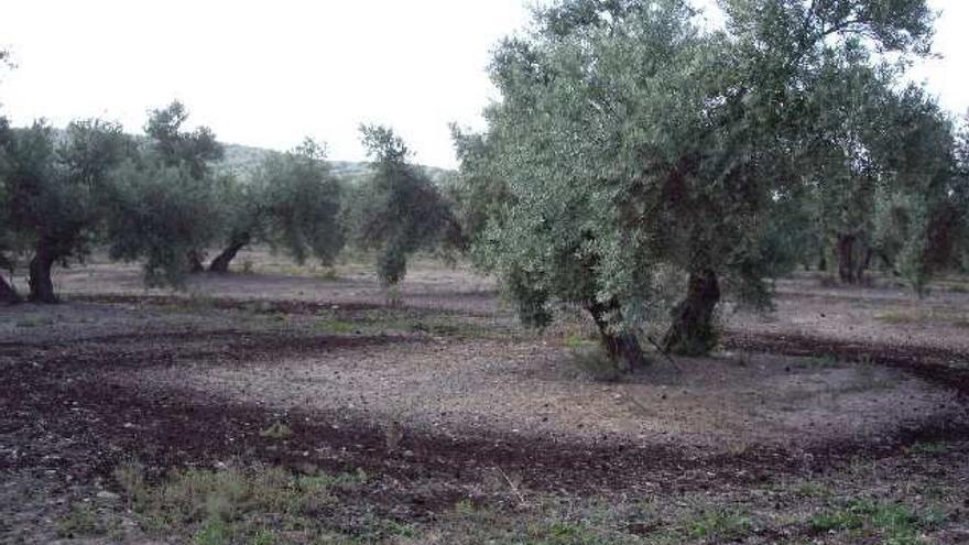 Demuestran que abono procedente de un subproducto del procesado de aceite mejora la calidad del suelo del olivar