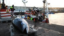 Los marineros de Mogán capturan una treintena de atunes rojos en el inicio de la campaña de 2017