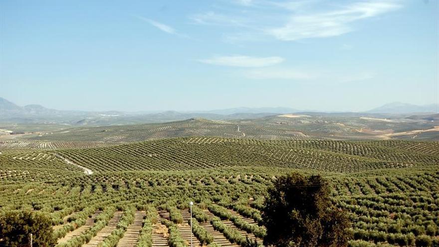 Descifran genoma completo del olivo, que permitirá mejorar aceitunas y aceite
