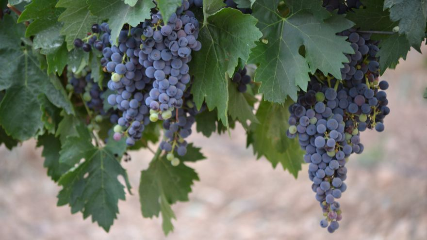 ASAJA estima una caída del 20% para la campaña vitivinícola de 2021/2022