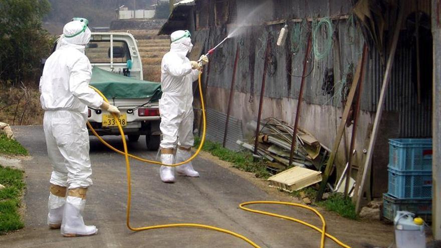 Japón eleva al máximo la alerta por gripe aviar tras detectar un cepa contagiosa