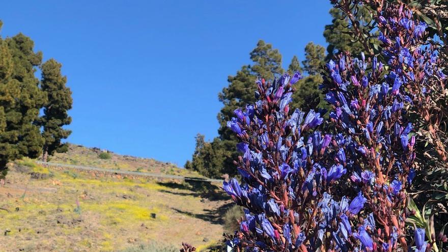 Un ejemplar de tajinaste azul genciana (Echium gentianoides), en el cortafuego del Lomo de La Ciudad, en el municipio de Garafía.