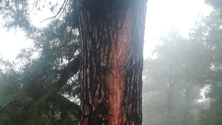En la imagen se observa la  huella de la descarga del rayo en el tronco del pino.
