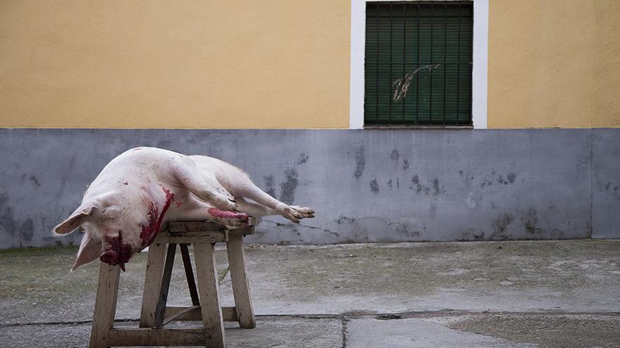 Matanza del cerdo en Toledo, sin aturdimiento. Foto: Tras los Muros