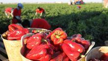 Pimientos rojos en el campo.